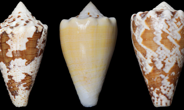 Caribbean cone snails whose venom helped form a compound that could be used to treat chronic pain