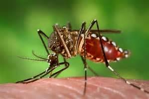 pcrmosquito.jpg